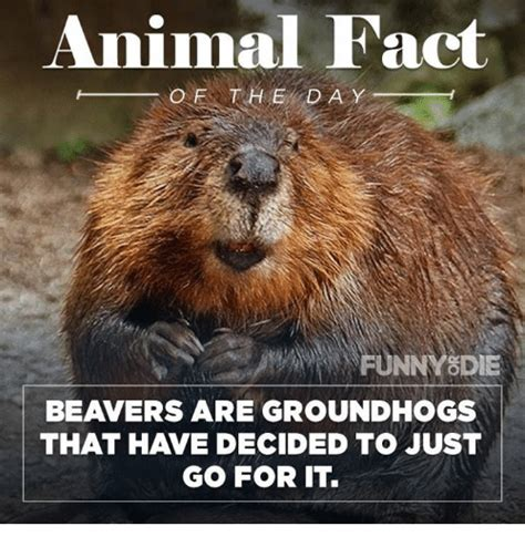 Beaver Meme - beaver meme 28 images mess with the beaver memes
