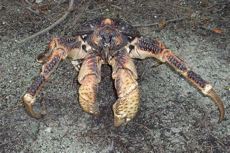 Scp 09 Crabs Pjm file coconut crab birgus latro 3125601642 jpg wikimedia commons