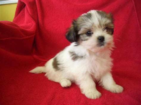 malshi puppies for sale in nc 17 best images about malshi puppies on kinds of dogs puppys and i want