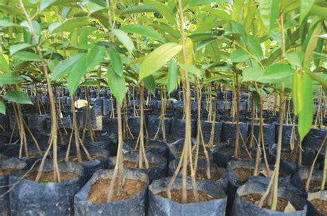 Bibit Durian Musang King Kaki 3 kaki 3 percepat pertumbuhan harian medanbisnis