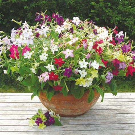 Pot Bunga Uk 40cm nicotiana plants f1 perfume mix dobies