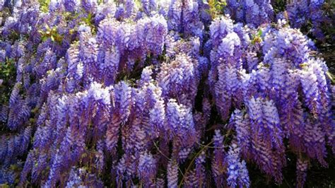 wisteria wallpapers hd  pixelstalknet