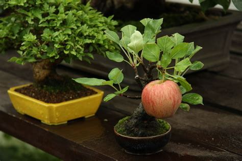 size fruit trees for sale how to grow bonsai fruit trees ebay