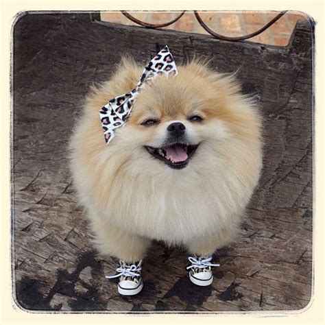 how much is a baby pomeranian 101 best images about pomeranians on puppys japanese spitz and teacup