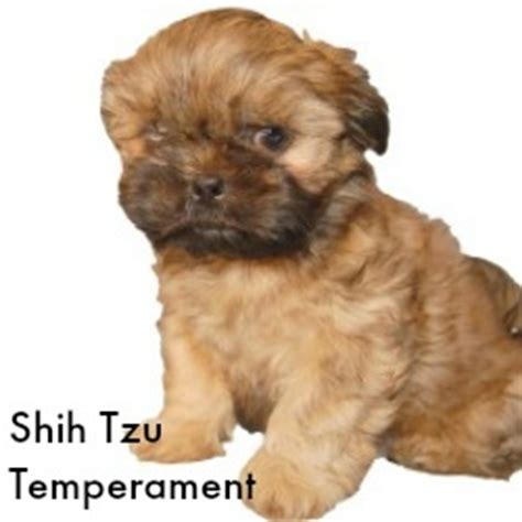 shih tzu personality characteristics ten reasons why shih tzu dogs