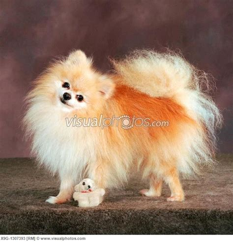 breed teacup pomeranian 1000 ideas about pomeranian breed on
