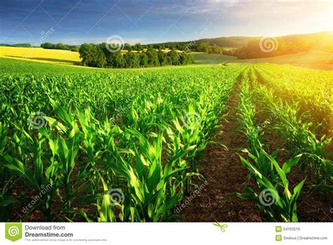 Hidrogel Beautiful Soil Plant sunlit rows of corn plants stock photo image of hill 54153516