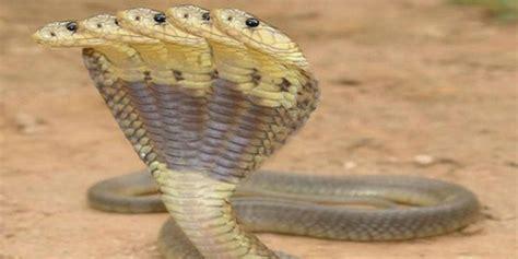 film ular cobra india misteri ular tinnin di alam kubur dream co id