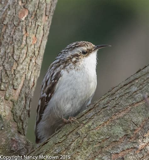 photographing the tiny brown creeper welcome to