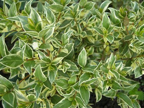 myrtle plant plants flowers 187 myrtle