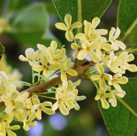 tanaman sweet olive osmanthus fragrans bibitbunga