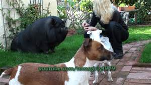 pot bellied pig vs jack russell terriers youtube