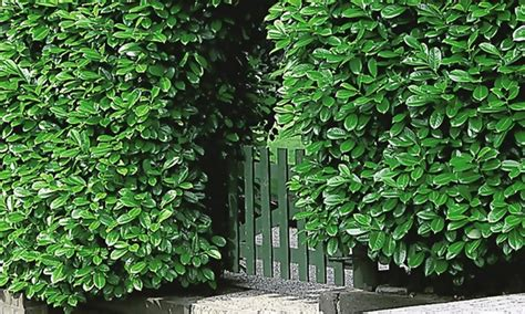 Garten Pflanzen Hecke by 12 Pflanzen Kirschlorbeer Hecke Groupon Goods