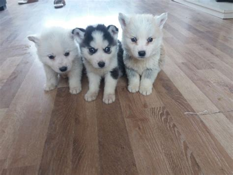 siberian husky puppies for sale in pa siberian husky puppies for sale erie pa 206913
