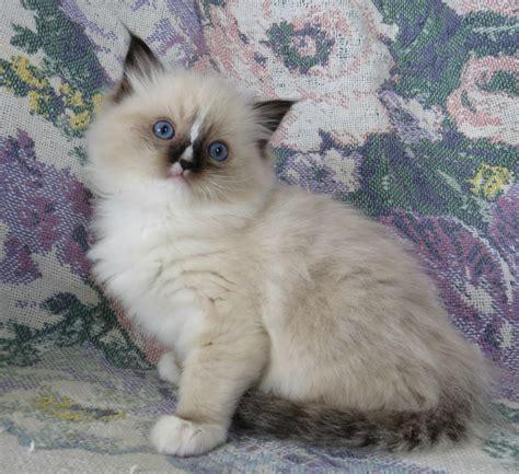 ragdoll kittens for adoption adoption at crescent moon ragdolls