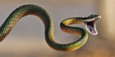 imagenes de serpientes oscuras 191 por qu 233 no hay serpientes en irlanda espaciociencia com