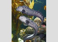 National Aquarium | Wolf Eel Jaws 9072