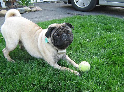 do pugs bark how bad do pugs how or bark advice from real pug owners