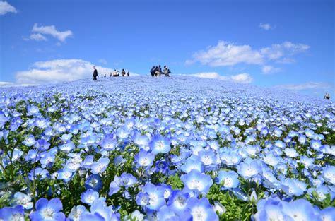 imagenes de chiba japon ネモフィラ 国営ひたち海浜公園