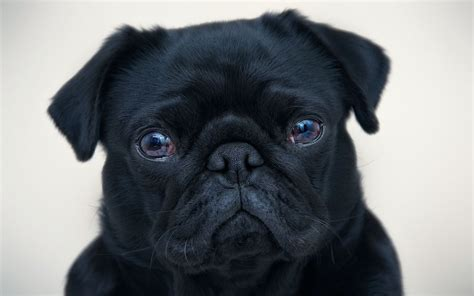 black and pug black pug wallpaper 20673