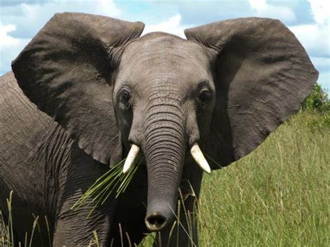zoology what causes notches in elephants ears biology stack exchange