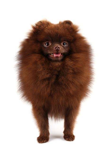 pomeranian chocolate pomeranian chocolate