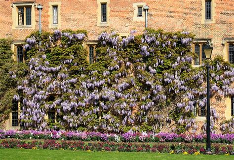 training wisteria vines to wall file wisteria sinensis trained along a wall jpg wikipedia