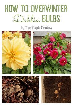 dahlia tuber quot eyes quot will eventually grow stalks and