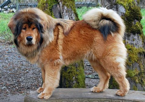 big dogs breeds breeds in alphabetical order top 100 breeds large breeds picture