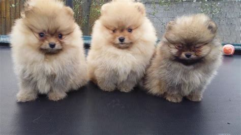 boo the pomeranian puppy pomeranian boo puppies stefijano kennel