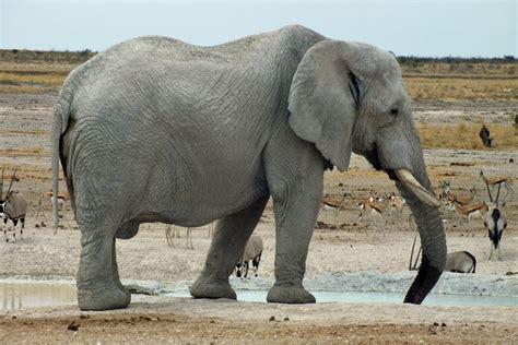 google images elephant elephant side view google search elephant pinterest