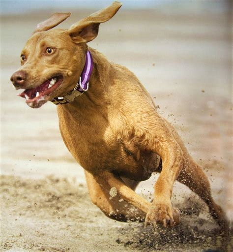 Non Shedding Labs by Is This The For Me Weimaraner And Labmaraner Painter S