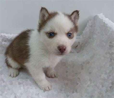 puppies for sale in tx 25 best ideas about husky puppies for sale on
