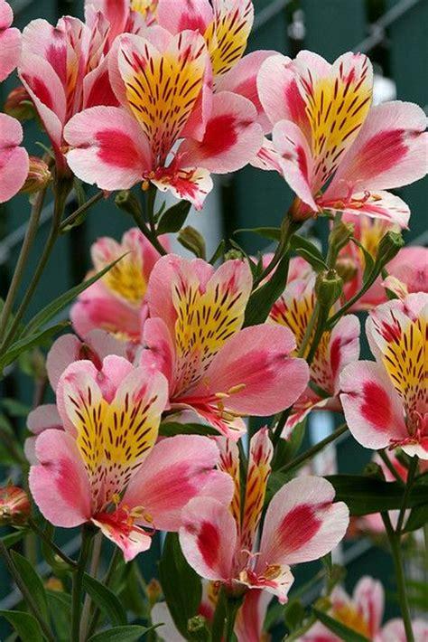 imagenes de rosas tricolor alstroemeria tricolor me encanta esta es una flor