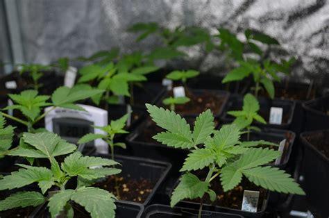 semi cannabis cultiver du cannabis en climat hostile du growshop