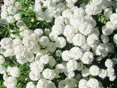 summer flower white flowers