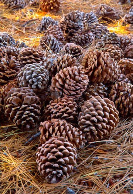 pine cone l shade earth tones brown and beige pinecones by