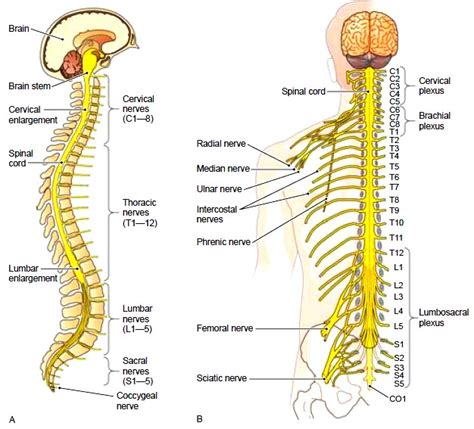 diagram of the spine and nerves the spinal cord structure of the spinal cord functions