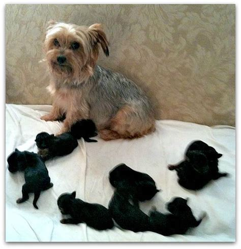 yorkie baby puppies yorkie and newborn babies yorkiepuppyluv yorkies yorkie puppy