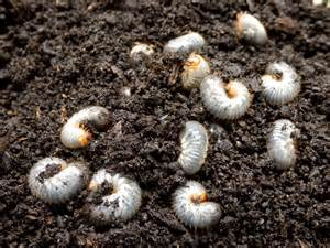 how to handle grubs in your lawn emerald lawns austin texas