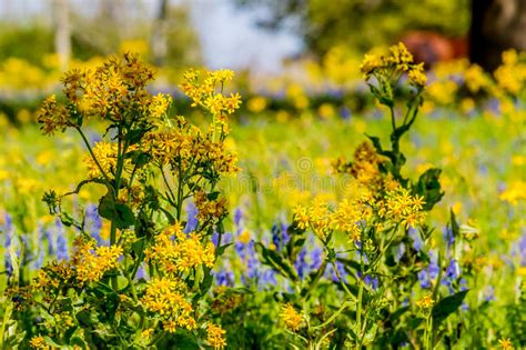 Mixed Memorable 9 Tx Oceanseven cut leaf groundsel bright yellow wildflower mixed with other wildflowers stock photo