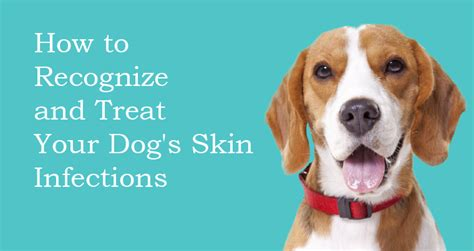 how to treat skin on dogs how to recognize and treat skin infections in dogs