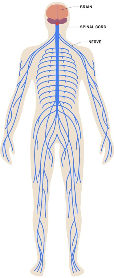 stress effects   body nervous system