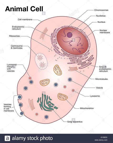 diagram of an animal cell animal cell diagram labeled pictures to pin on