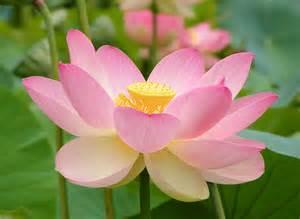 Of A Lotus Flower Nelumbo