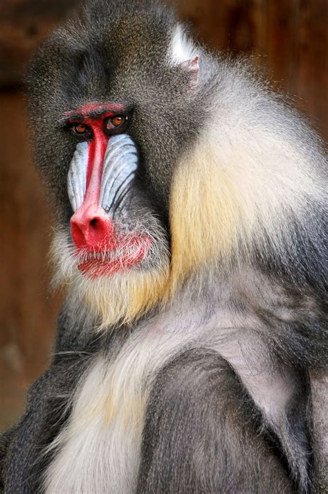 macho mandrill  portrait   male mandrill   zoo  flickr