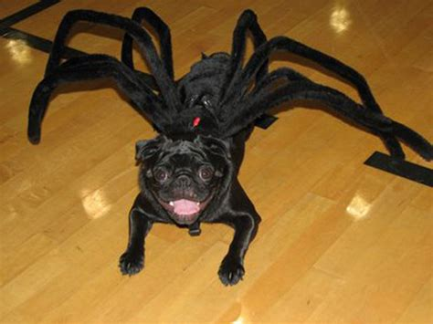 pug costumes for 6 adorable pug costumes pug tips