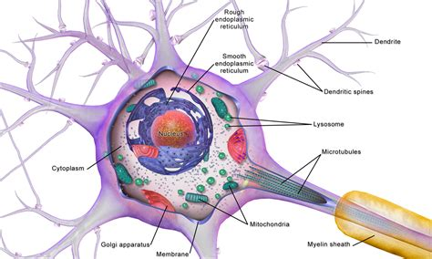 diagram of a brain cell sclerosis ms understanding neurons