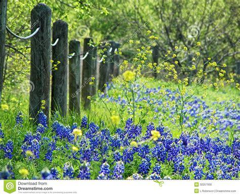 texas bluebonnets  spring stock photo image