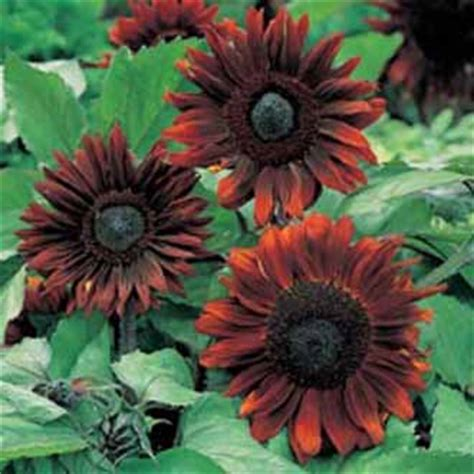 sunflower black magic f1 johnsons seeds flower seeds